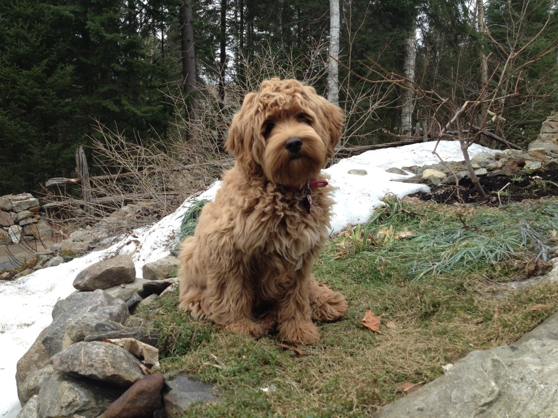 About Laurentians Mountains Labradoodles